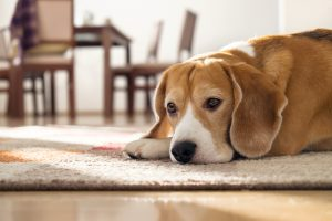 Leaving a dog alone at home: what you need to know