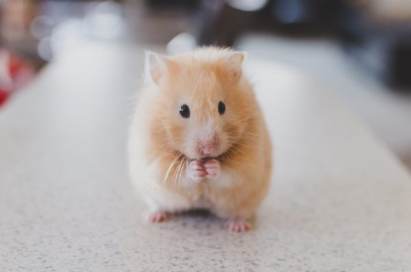 What treats should I give my rodent?