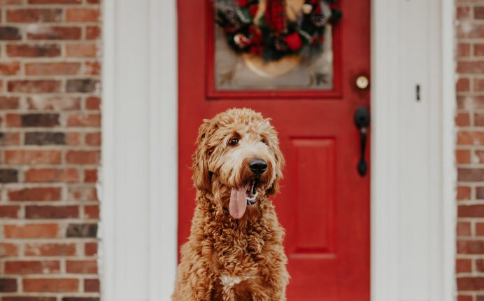 The goldendoodle: a hybrid breed you'll fall for